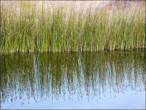 Reeds 919