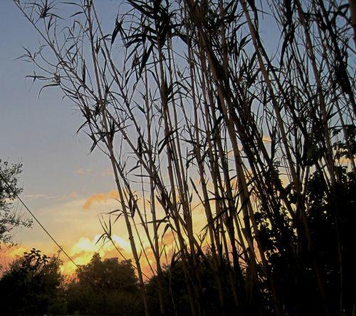 nendrės, aukštas, banguotas, tankus, debesys, saulėlydis, nendrės prieš saulėlydžio debesis