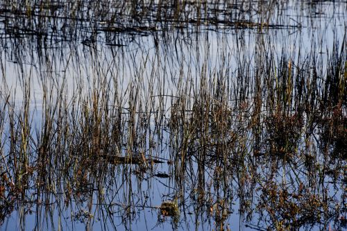 Reeds And Blue