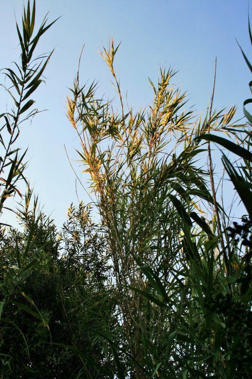 Reeds Catching Light
