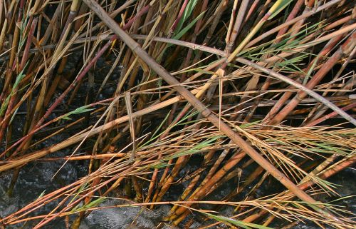 Reeds Growing In A Water Stream