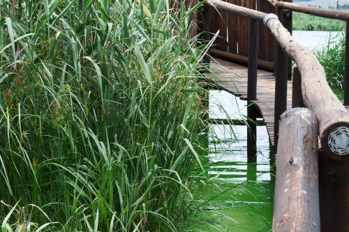Reeds In Water And Foot Bridge