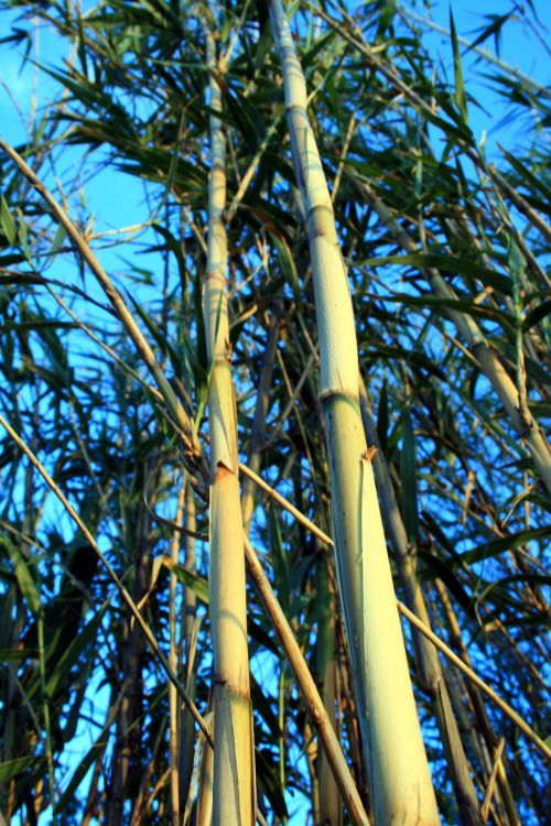 Reeds Straight Up