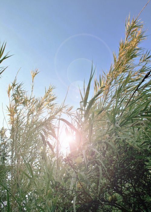 Reeds Tips In Sunlight With Flare