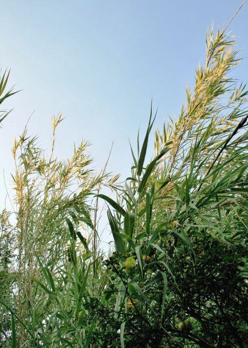 Reeds Tips In Sunlight