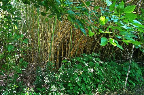 Reeds With Tree Overhang