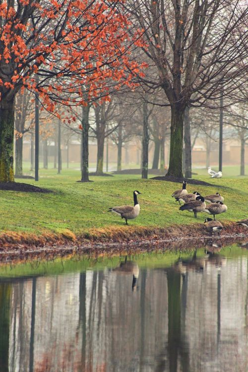 reflection by the water geese