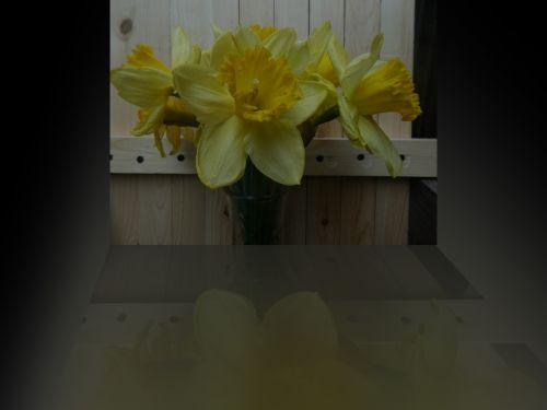 Reflective Daffodils
