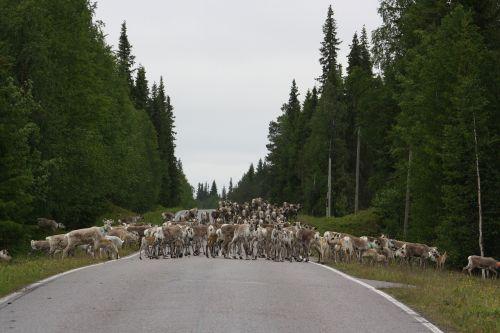 reindeer road horse-sleigh