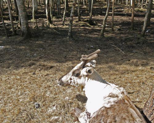 reindeer lapland terrain