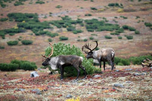 reindeer the herd pasture