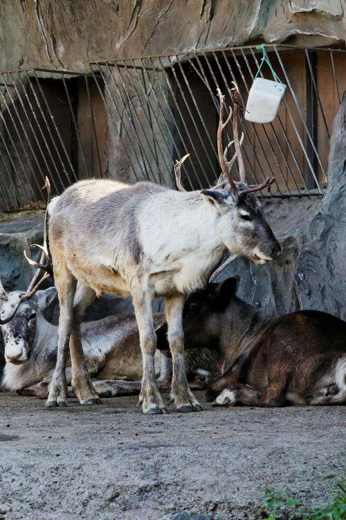 reindeer standing enclosure