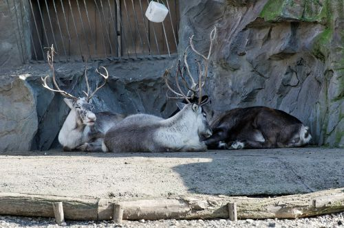 reindeer lying enclosure