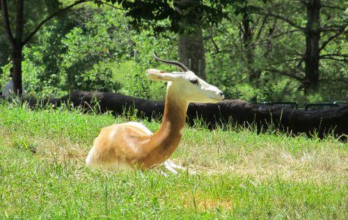 Relaxing Gazelle