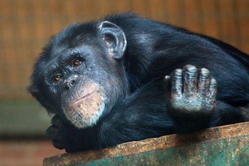 gyvūnas, ape, šimpanzė, šimpanzė, akys, veidas, žinduolis, beždžionė, primatas, atsipalaiduoti, atsipalaidavęs, atsipalaiduoti, poilsio, laukinė gamta, zoologijos sodas, atsipalaiduoti beždžionė