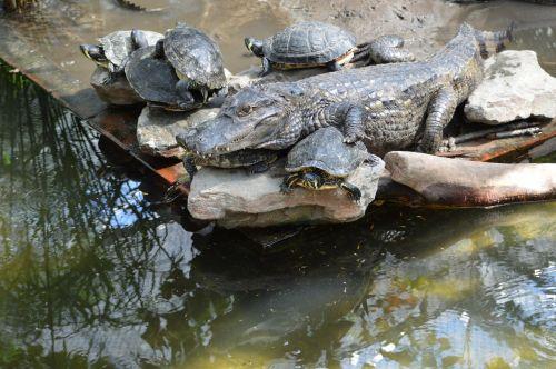 aligatorius, vėžliai, Draugystė, puikus, puiki draugystė