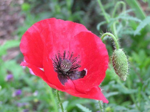 remembrance day poppy flower