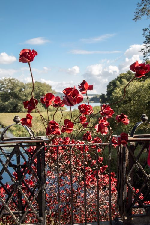 Remembrance Red Poppies