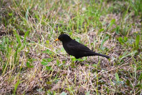 Meal Of The Blackbird