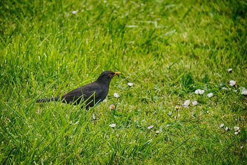 Dining Blackbird
