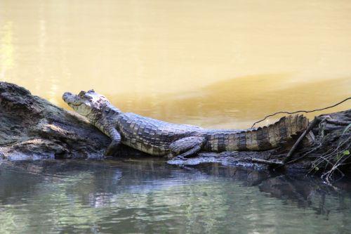reptile rainforest costa rica