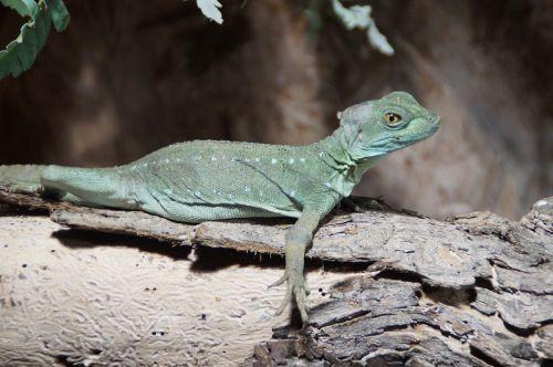 reptile animal lizard