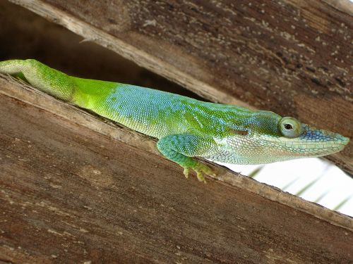 reptile lizard cuba