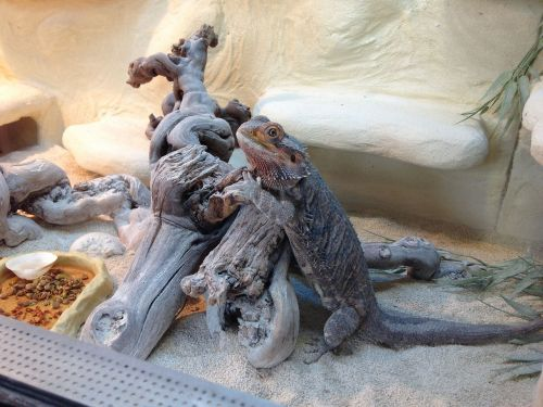 reptile bearded dragon terrarium