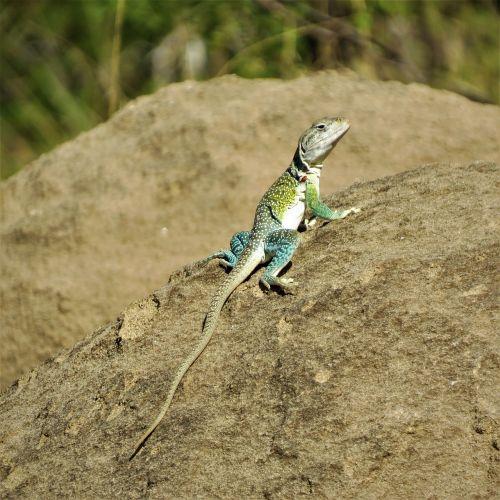 reptile lizard colorful