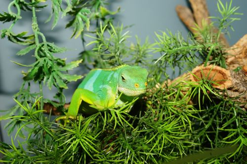 reptile fiji iguana lizard