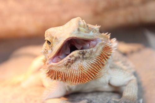 reptile animal iguana