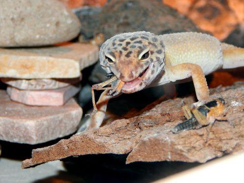 reptile terrarium lizard