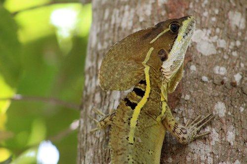 reptile  mexican  tabasco