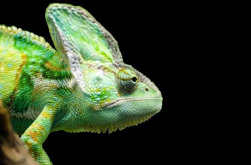 reptile iguana render