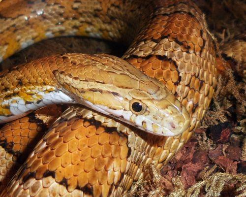 snakes corn yellow