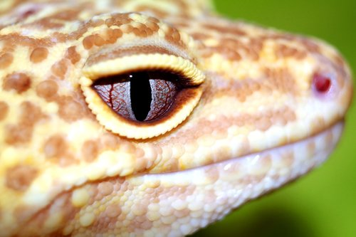 reptiles  the lizard  leopard gecko