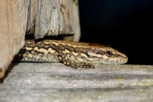 reptiles lizard podarcis