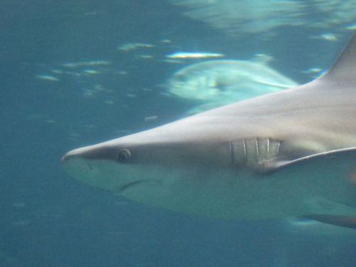 Gray Shark Profile
