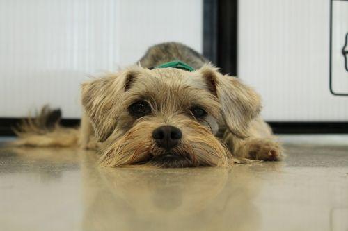 rescue schnauzer pet