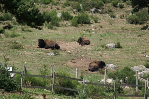 bison wild bison reserve animals
