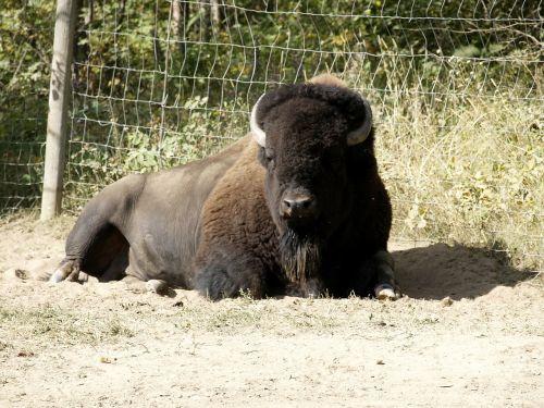 resting bison animal nature