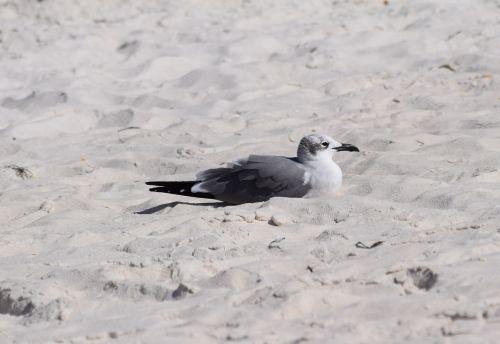 resting herring gull gull shore bird