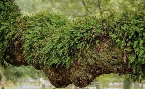 resurrection fern epiphyte air plant