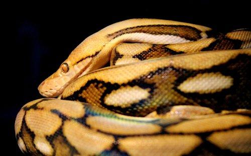 reticulated  python  snake