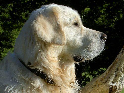 retriever canine dog