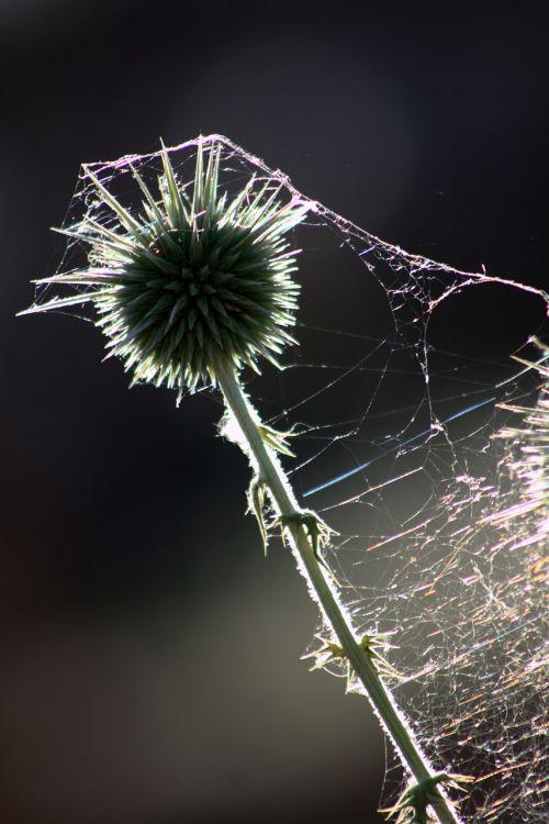 thistle thorns reverse light