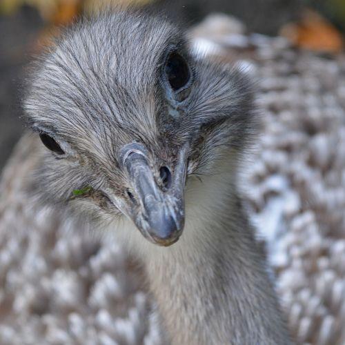 rhea runner bird