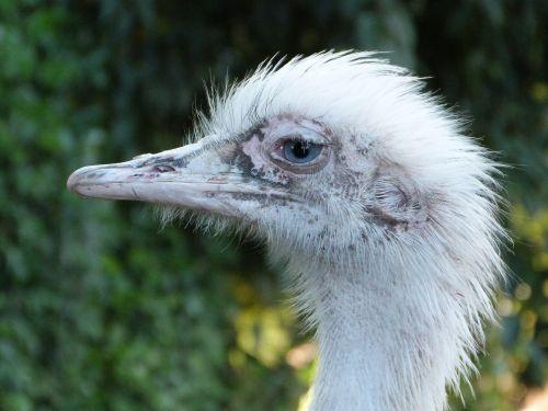 rhea bird south america