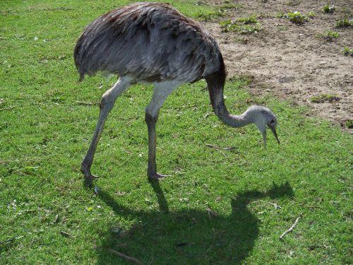 rhea bird flightless