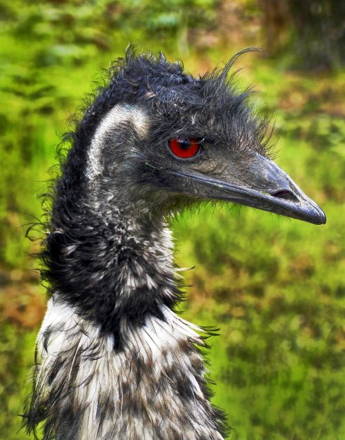 rhea bird flightless bird portrait